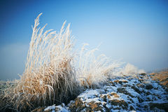 Frosted grass Stock Images