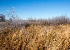 Frosted grass in field. Ice covered tall grass and trees Stock Photography