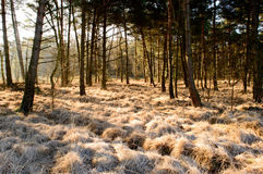 Frosted grass golden colored by the sun. Shining trough the trees on a cold morning Royalty Free Stock Images