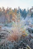 Frosted grass and larch in forest. Frosted grass and larch in autumn forest Royalty Free Stock Image