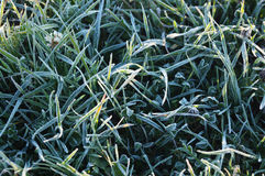 Frosted grass. In the morning in polish countryside, Czersk Royalty Free Stock Photo