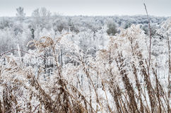 Frosted grass. Snow frosted grass and plants Stock Photo