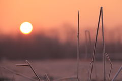 Frosted grass at sunrise. Few sticks of grass in front of the sun at sunrise Stock Image