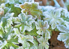Frosted green leaves Royalty Free Stock Photography