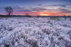 Frosted heather at sunrise in winter in The Netherlands Royalty Free Stock Images