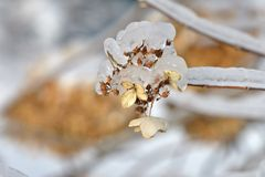 Frosted hydrangea Stock Photography