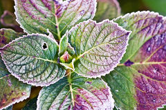 Frosted Hydrangea Leaves Stock Photography