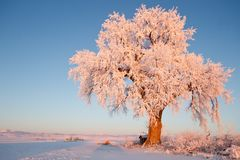 Frosted Ice Lone Winter Tree at Glowing at Sunrise. With field of snow covered landscape Stock Photos