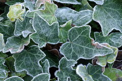 Frosted ivy. Close-up abstract background frosted ivy leaves showing veins and pattern Royalty Free Stock Images