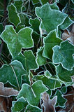 Frosted ivy Stock Image