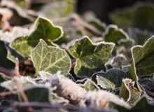 Frosted Ivy Leaves Stock Images