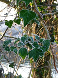 Heart shaped ivy leaves with frosted edges. (Hedera Helix) Stock Photography