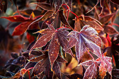 Frosted Japanese Maple Leaves Stock Photo
