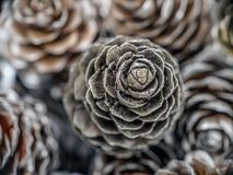 Frosted larch cones Stock Photos