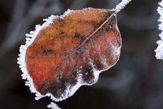 Frosted Leaf Stock Photography