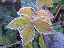 Frosted leaf. A frosted leaf in autumn Royalty Free Stock Photos