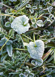 Frosted leaf. Frosted autumn dark green leaf. Morning Royalty Free Stock Images