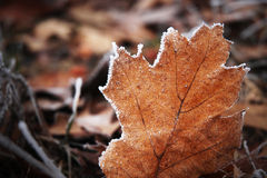 Frosted leaf. Beautiful frost leaf in winter Royalty Free Stock Photo