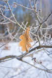 Frosted leaf, close-up. Dry oak leaf covered with frost. Close-up Royalty Free Stock Images