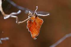 Rust-colored fall leaf frosted. Close-up of a frosted leaf on its stem. Seasonal change in German woods from fall into winter Royalty Free Stock Images