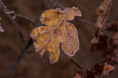 Frosted leaf. Just a photo of a frosted leaf Royalty Free Stock Photography