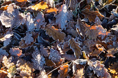 Frosted leaf litter in sunlight. Fallen leaves frosted on the ground at a sunny day in winter. Topview Royalty Free Stock Photography