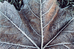 Frosted Leaf Veins. A close up shot of the back of a frosty leaf Stock Photos