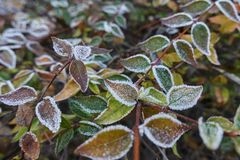 Frosted leaf  in winter. In the garden Stock Photography