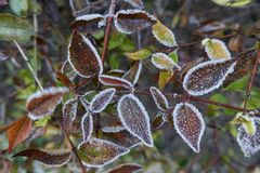Frosted leaf  in winter. In the garden Stock Image