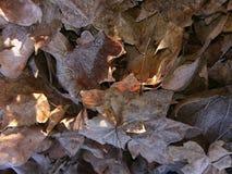 frosted leaves Royaltyfria Foton