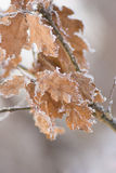 Frosted leaves. The branch with frosted dry oak leaves Stock Image