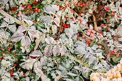frosted leaves στοκ φωτογραφίες με δικαίωμα ελεύθερης χρήσης