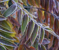 Frosted leaves. Royalty Free Stock Photo