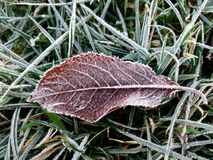 frosted leaves 免版税库存照片