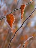 frosted leaves 免版税库存图片