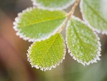 Free Frosted Leaves Royalty Free Stock Image - 91867156