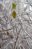 Frosted leaves. Stock Image