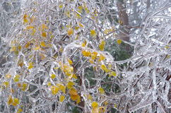 Frosted leaves. Royalty Free Stock Photography
