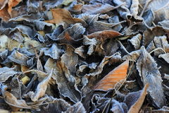 Frosted Leaves. A  colour image of  autumn leaves laying on the forest floor, frosted and decaying Stock Image