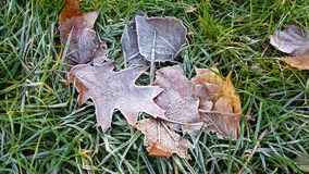 Frosted leaves. On the frozen green grass Stock Images