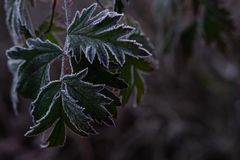 Frosted Leaves stock images