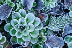 Frosted Leaves Royalty Free Stock Photography