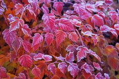 Frosted leaves of Physocarpus opulifolius diabolo. Red, orange, purple  frosted leaves of Physocarpus opulifolius diabolo  nine bark in autumn garden. Selective Stock Images