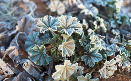 Frosted Leaves of Snowball Plant on Winters Morning. Royalty Free Stock Images