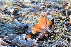Frosted Leaves in Winter Royalty Free Stock Images
