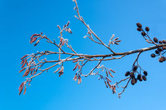 Frosted male and female Alder catkins and twigs at a branch Stock Image