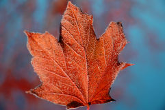 Frosted Maple Leaf. Maple leaf after first frost Stock Image