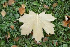 Frosted maple leaf on grass. Autumn time Stock Photo