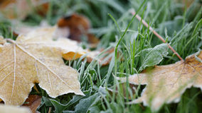 Frosted maple leaves on grass Royalty Free Stock Photo