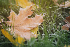Frosted maple leaves on grass Stock Image